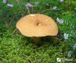 Лже маховик – Моховики – полезные свойства и калорийность, применение и приготовление, в чем польза и вред продукта моховики, сколько варить – грибы
